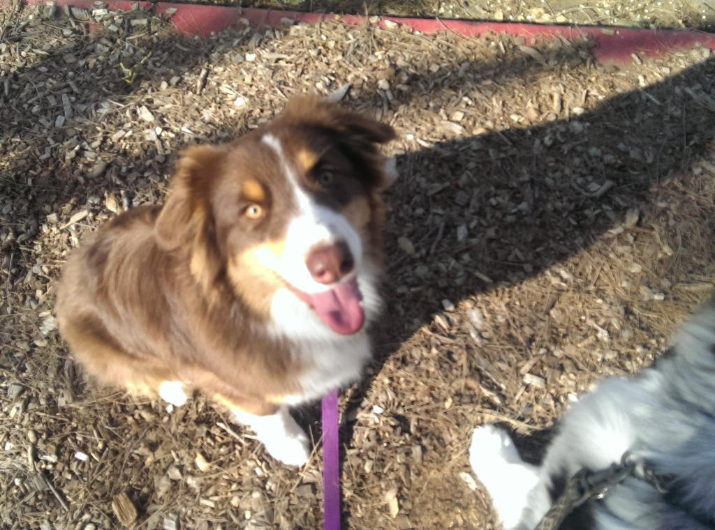This is Millie. She is our 11 month old Australian Shepherd puppy
